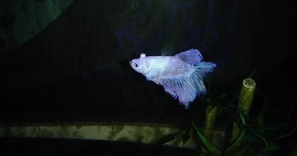 Betta Fish Any Idea What The Growth On My Betta S Head Is