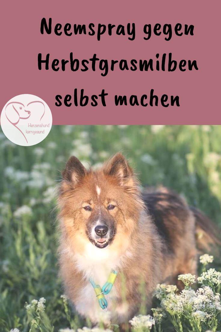 Neemspray Gegen Herbstgrasmilben Selbst Herstellen Herzenshund Kerngesund Herbstgrasmilben Hund Hundegesundheit Flohe Hund