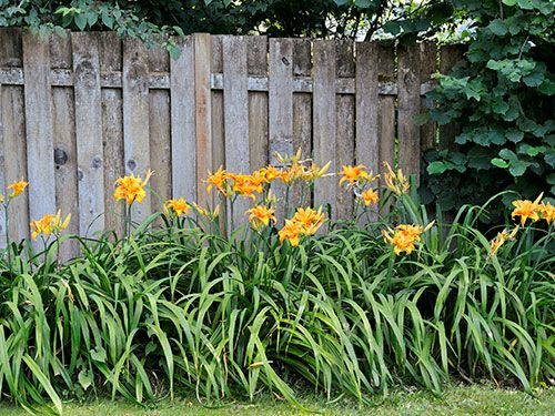 "13 Plants That Give You Bang for Your Buck ""Daylilies are gorgeous and easy to divide. You can build a fine collection of colors and shapes by acquiring a few plants each year."""