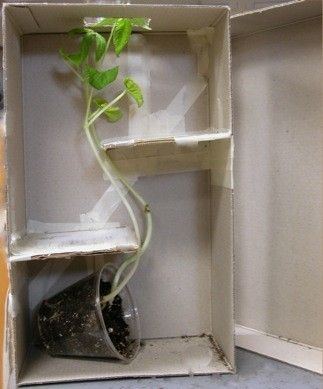 to demonstrate the way plants grow towards the sun