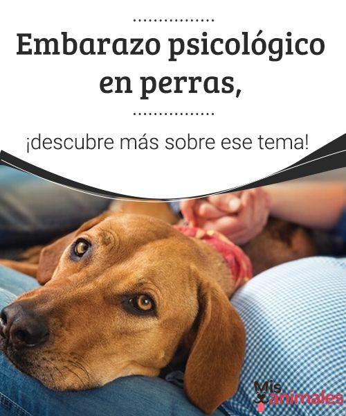 Embarazo psicológico en perras, ¡descubre más sobre ese tema! Si el comportamiento de tu perra se ha visto modificado e intuyes que pueda estar atravesando un embarazo psicológico, encuentra aquí toda la información. #embarazo #psicológico #perras #salud