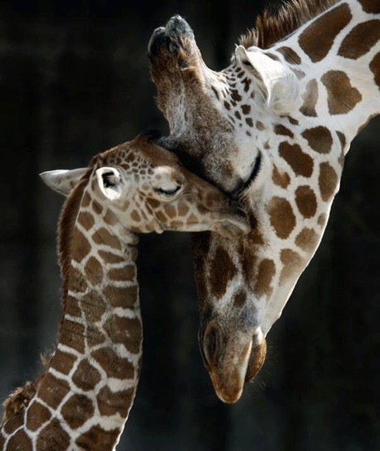 It doesn't get much sweeter than a momma & her baby. This adorable image captures the love & care between this mother giraffe & her baby beautifully!