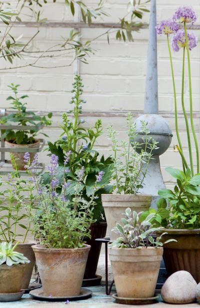 Asetelmassa mehitähti, iisoppeja, ryytisalvia, minttu ja taka-alalla sitruunamelissa, lyhytkasvuinen ritarinkannus sekä ukkolaukka.   Makuja ruukkujen täydeltä   Koti ja puutarha