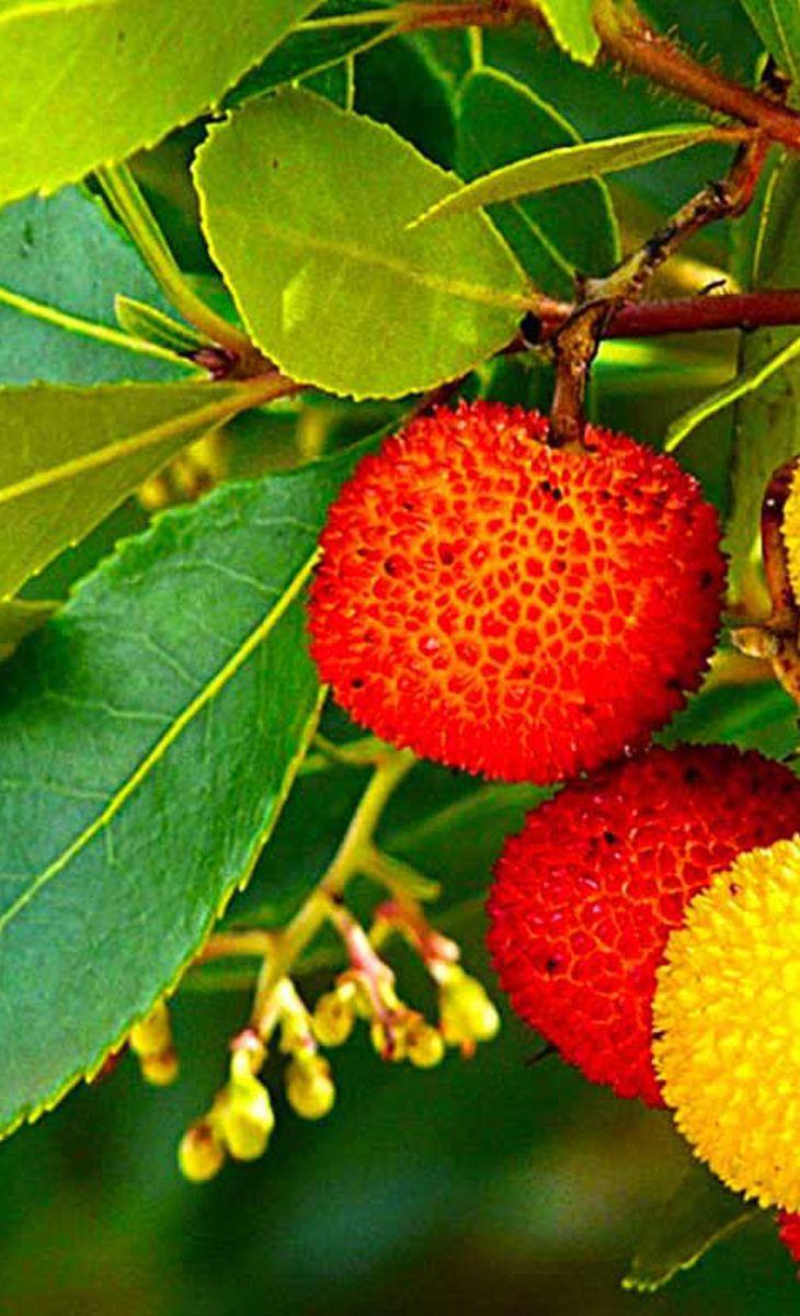 Piante Da Frutto Sempreverdi pianta di corbezzolo – coltivazione benefici e proprietà