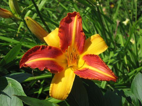 Hémérocalle (Hemerocallis), fleur du jardin