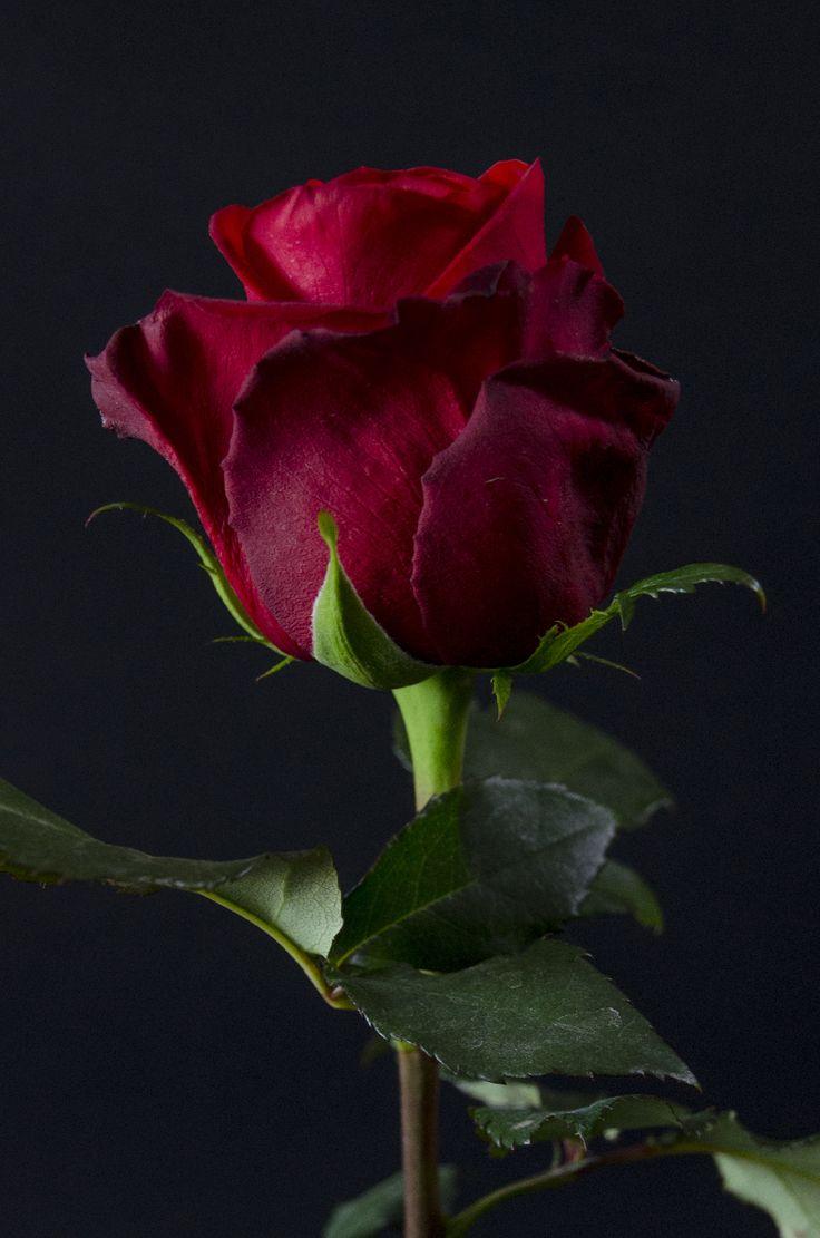 rose eden roses ecuador roses pinterest flower. Black Bedroom Furniture Sets. Home Design Ideas