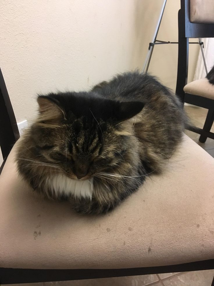 our cinnamon loaf kittens pinterest cinnamon loaf pet pet and cat cat