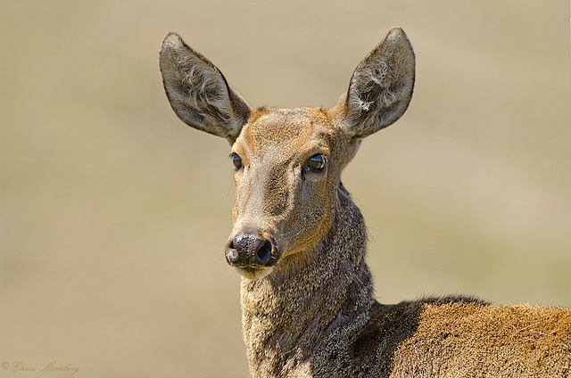 Huemul, via Flickr.