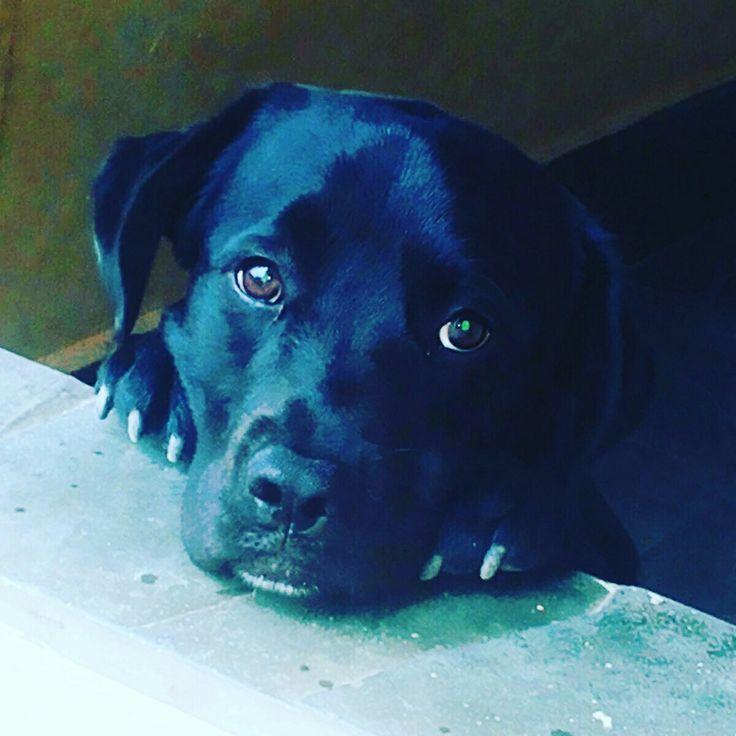Labrador zeus