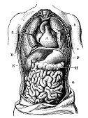 Antigo científica médica Ilustração alta resolução: Seção frente do peito