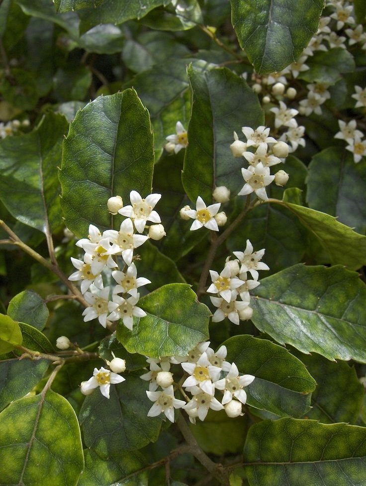 80 best new zealand native plants images on pinterest