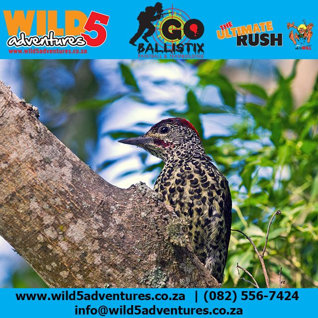 The Stunning Knysna Woodpecker can be seen at Wild 5 Adventures #Wild5PawPrint http://buff.ly/1I1P2j3