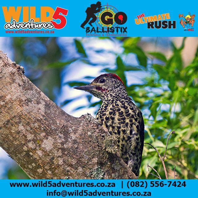 The Stunning Knysna Woodpecker can be seen at Wild 5 Adventures #Wild5PawPrint http://buff.ly/1I1P2j3