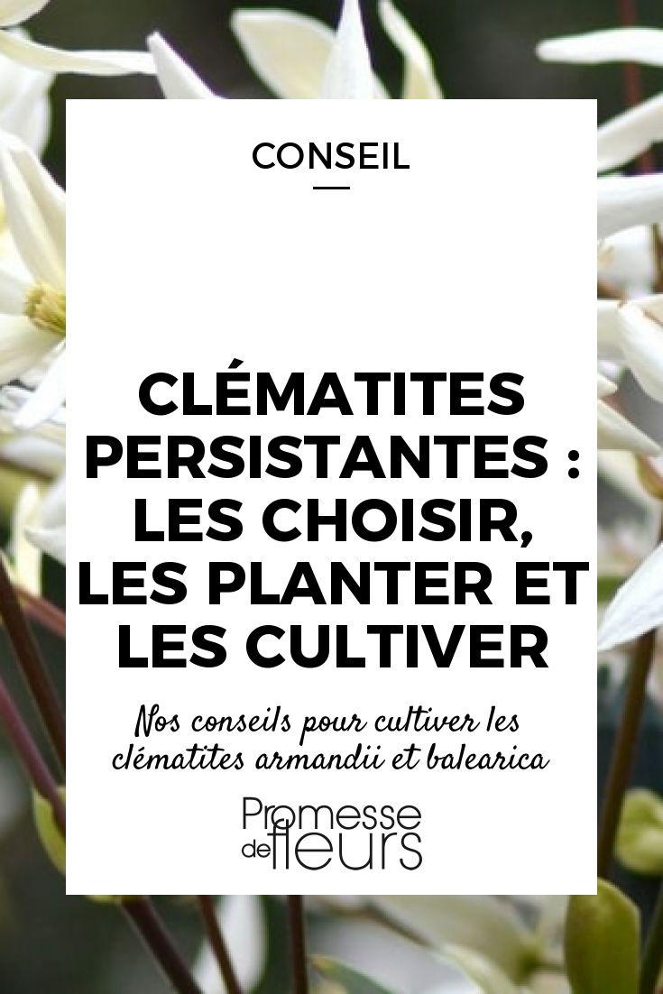 Découvrez comment cultiver les clématites persistantes, dont les clématites armandii, des plantes grimpantes qui offrent une généreuse floraison !