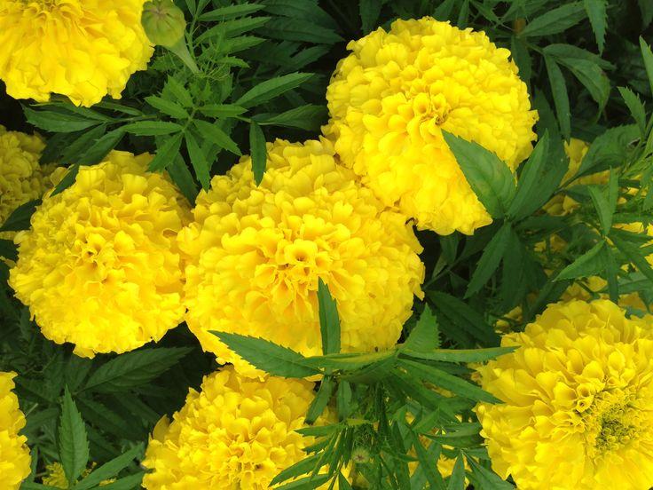 Yellow flowers buns