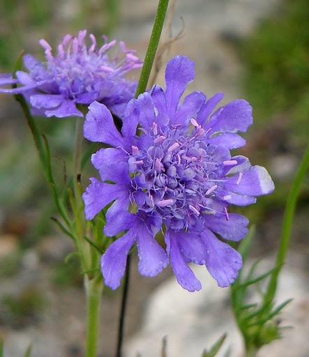 Wild Flowers:Scabiosa comosa Fisch