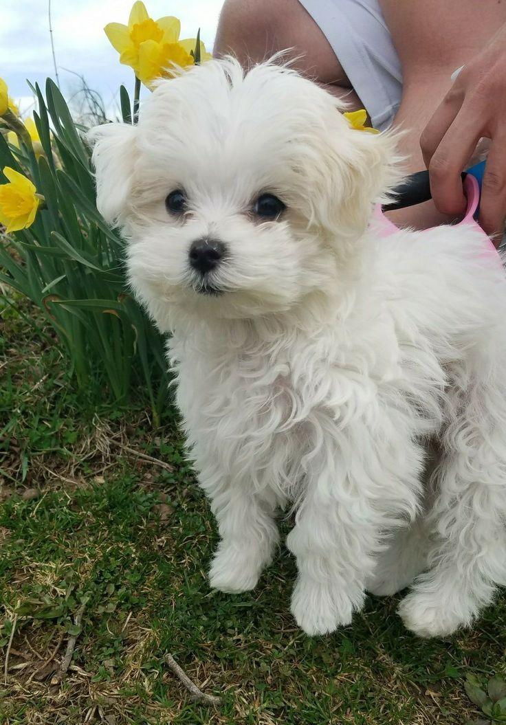 Malteser Welpe Malteser Welpe Puppies Malteserwelpen Welpen Malteser Hund