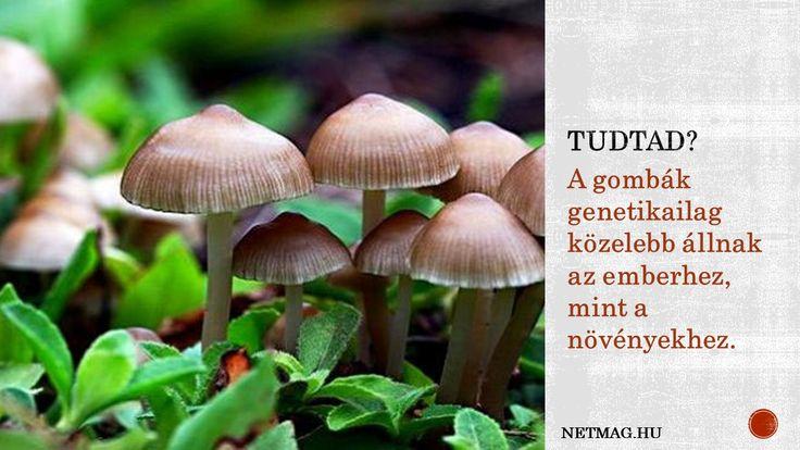 Érdekes tény a gombákról.