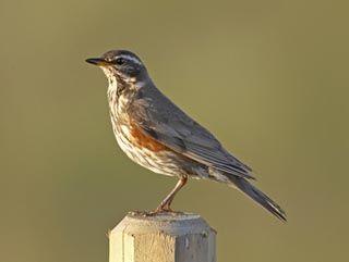 Punakylkirastas, Turdus iliacus - Linnut - LuontoPortti