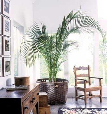 Potted palm in large basket for the yard pinterest for Palm tree decorations for the home