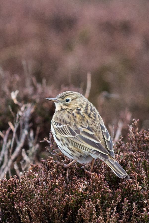 meadow pipit by Bob Pietrowski - Photo 207914375 / 500px