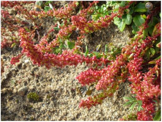 Plantas e Flores do Areal - Endemismos de Portugal: Rumex bucephalophorus