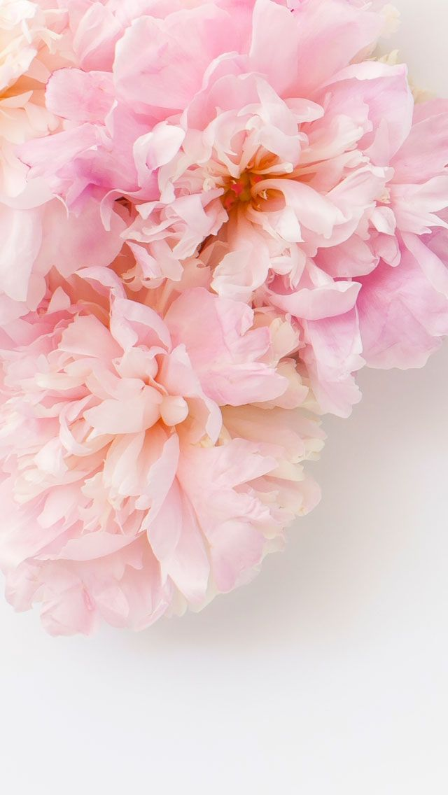 Pink blush white flowers floral blossom iphone wallpaper background phone lockscreen