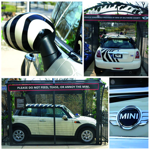 This roaring mini is up for grabs!! Purchase raffle tickets at the Baltimore Zoo or at our MINI dealership located on Reisterstown Road! Each raffle ticket also enters you for the chance to win a special Behind-the-Scenes Zoo tour or a free annual family membership! All proceeds go directly to supporting the Zoo. Happy Motoring!! #minicooper #baltimore #zoo #animallovers