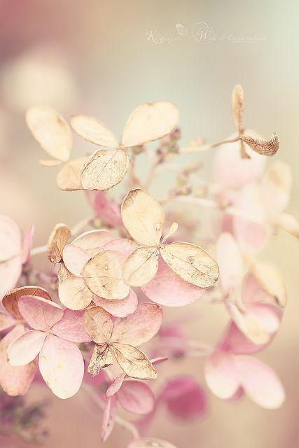 Even when reaching the end of its season, hydrangea is still beautiful.