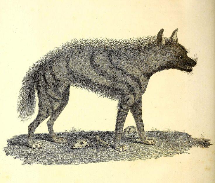Hiena /hyæna/ (Bruce 1790)
