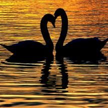 actually saw two swans make a heart in mexico before they went to bed, amazing birds!