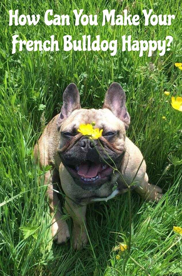 15 Ways To Make Your French Bulldog Happy French Bulldog French
