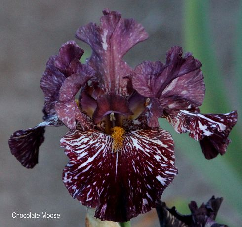 World of Irises: BROKEN COLOR IRISES WITH HYBRIDIZER BRAD ...