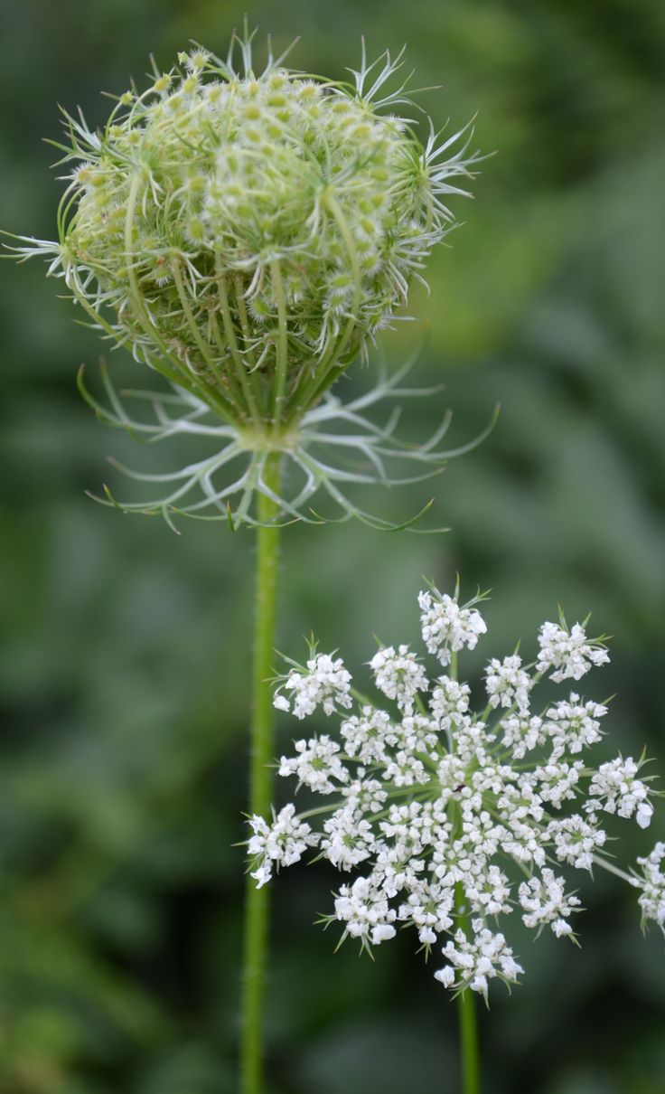 Queen Anne's Lace - Legend says that if brought into the house, snakes will follow it. In Yorkshire, this is known as Mother Die, or Stepmother's Blessing, since if it's brought into the house, your mother will die.