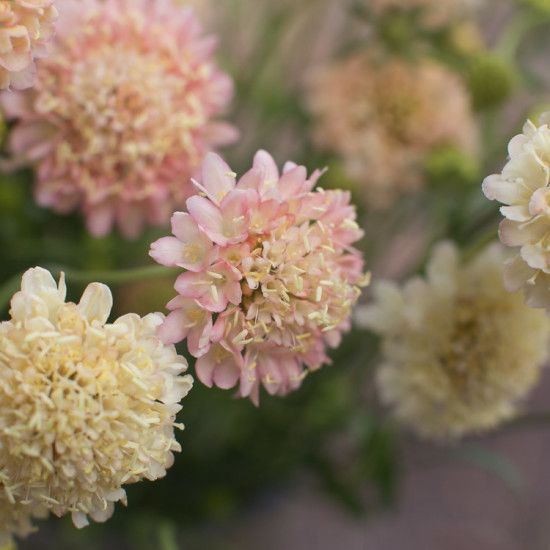 "Pincushion Flower 'Fata Morgana'. Scabiosa atropurpurea. 36"" tall."