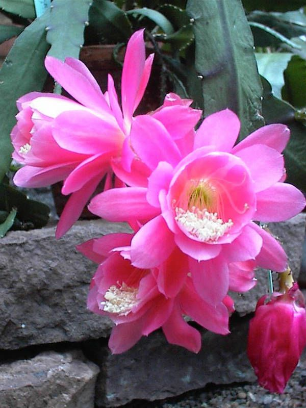 17 Best Images About Disocactus On Pinterest Ribs Green
