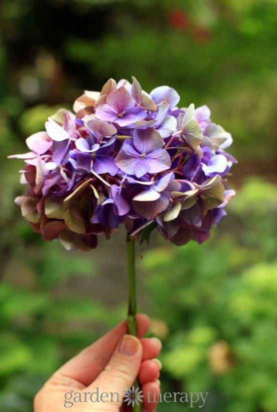 How to dry hydrangea flowers to keep color (1)...cut half way through blooming, when they're just starting to dry. Remove leaves, place in 2 inches of water in a cool dry place.