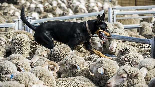 Kelpies work the sheep with quiet instruction from their owners