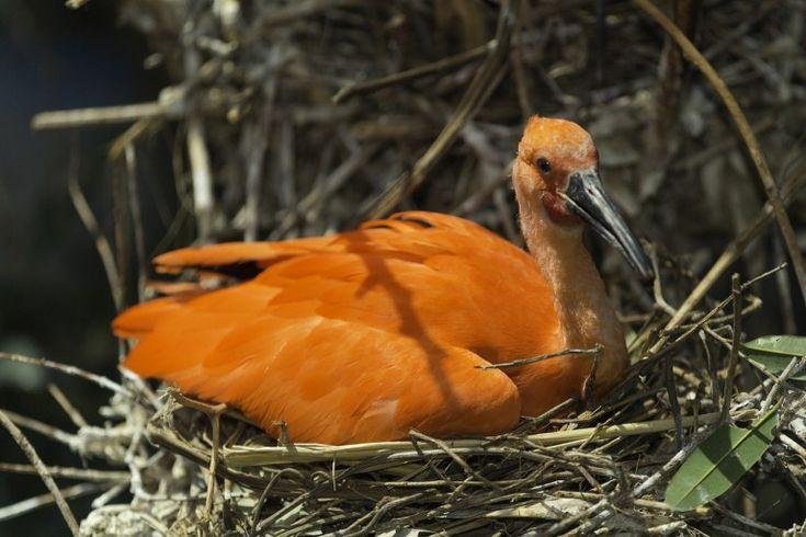 A scarlet ibis in Venezuela