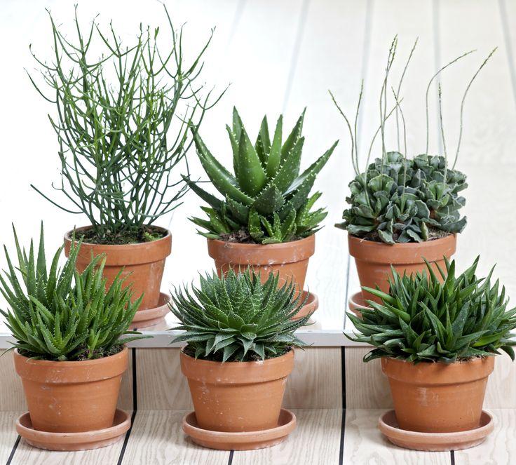 Enkle, men flotte sukkulenter i lerpotter. #sukkulenter #lerpotter #grønneplanter #grønnestueplanter #stueplanter #nemmeplanter #indoorplant #succulentplant #greenplants #plantorama