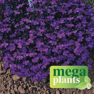 Lobelia Royal Blue 12 Mega Plants