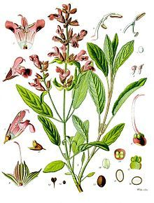 """Sage (Salvia officinalis) once called """"All Heal"""" for its medicinal benefits. Antibiotic, antifungal. Gargle sage tea for sore throats, use as a mouthwash."""