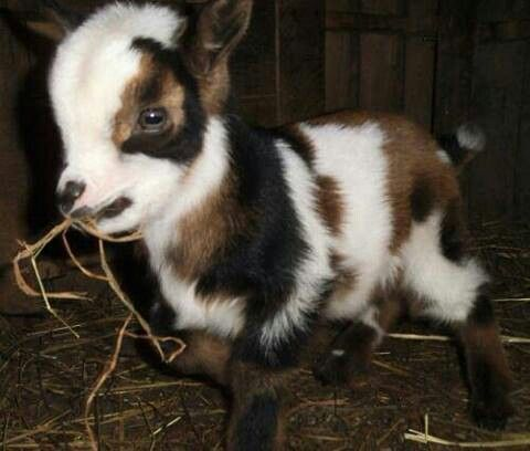 """Oh he's tough, hard as nails, and sharp as one too. Sure, he's tiny they say. Just a cute little baby goat they say. """"It ain't the size of the thought that gives it power, it's the belief!"""" his Pappy used to say. Don't be fooled by those little legs and those darling innocent eyes. A killer. *chills*"""