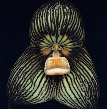 dracula orchid,, He looks more like a Gorilla to me.I think he is mad at someone, and I wouldn't want to be that someone.                                                                                                                                                      More