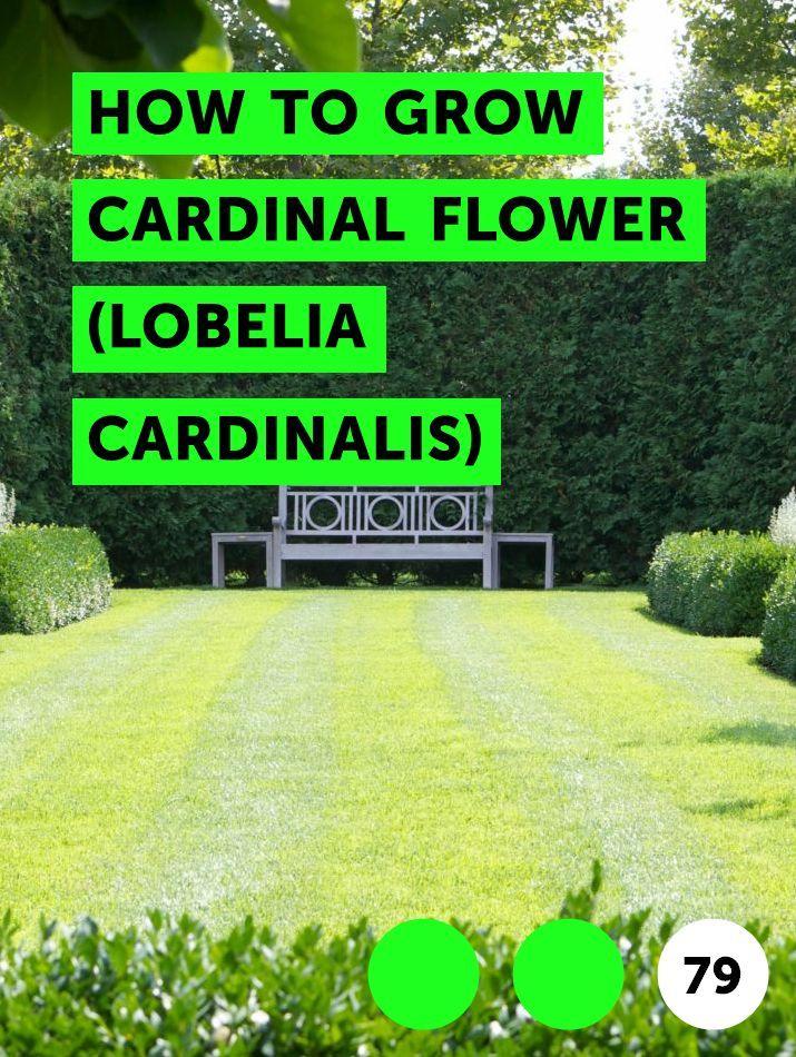 How To Grow Cardinal Flower Lobelia Cardinalis Growing