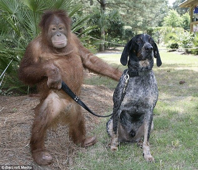 Dogwalkers out there challenged any one who said a monkey could do their job, well guess what.