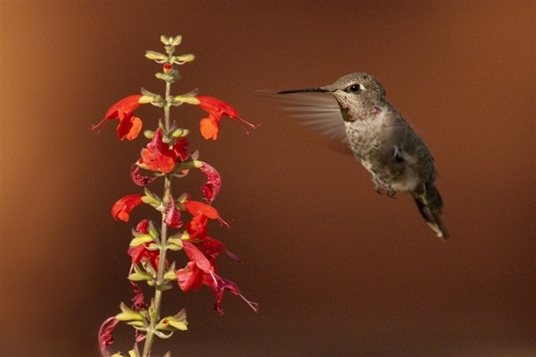 The first Sedona Hummingbird Festival was this year! Travel to Sedona next summer to see these little guys in action!