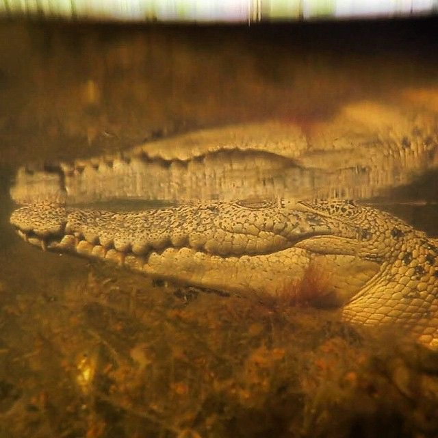 Photo by @melissalesh And @tbfrost A saltwater crocodile resting just beneath the surface of the water. Crocodiles are incredible hunters, ambush predators, who can stay just beneath surface with only their eyes above the water. In fact, a 16 foot 1500 pound crocodile can remain undetected in as little as three feet of water.