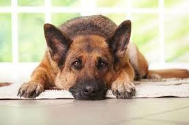 Bildergebnis für bilder deutscher schäferhund