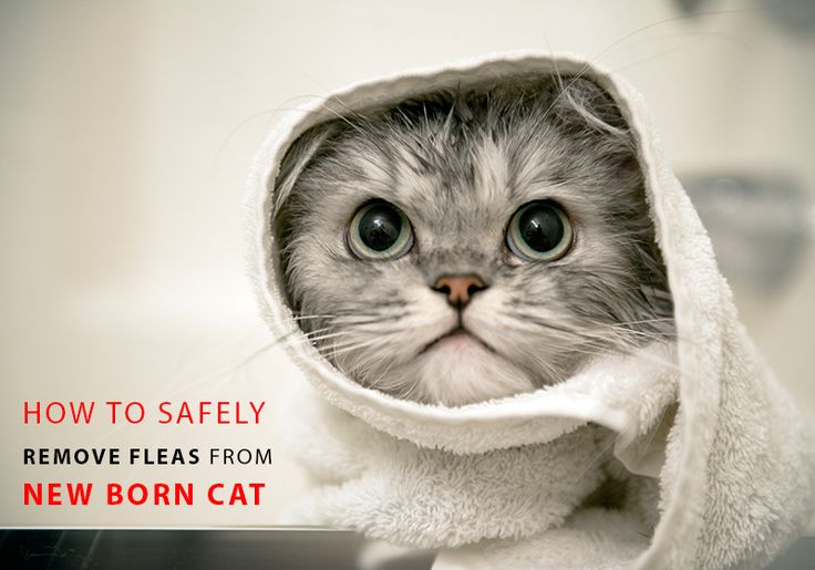 Are You Looking For The #Ways To #Remove #Fleas From New Born #Kittens Without Hurting Them ? -